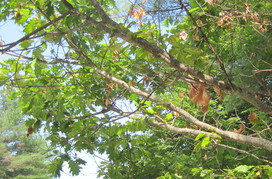 Oak dieback and symptoms, Standish, Maine. Photo: W. Ostrofsky, MFS