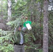 Figure 3.  Spruce budworm pheromone traps are hung in spruce/fir stands that are more than 25 acres in size and have at least 50 percent pole-sized or