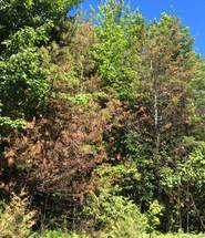 Figure 5.  Eastern white pine with severe damage from pine leaf adelgid, T6 R13 WELS, Maine. (Maine Forest Service Photo)