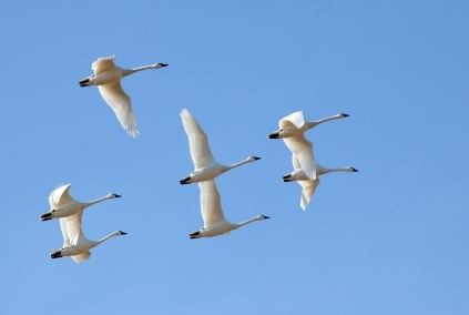 tundra swans migrating