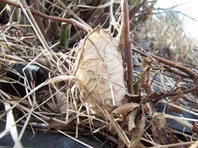 polyphemus cocoon