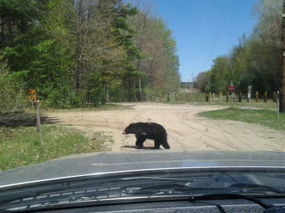Female black bear crossing in front of wildlife biologist Pete Kailing's truck.