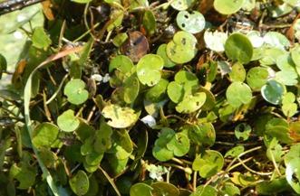 European frog-bit closeup