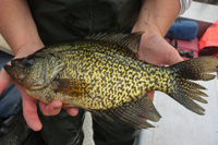 Example of catch-and-release photo taking with black crappie