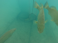 Smallmouth bass in trap net on Lake St. Clair