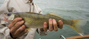 Up close photo of walleye