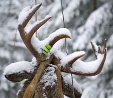 tagged buck