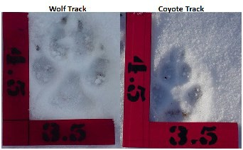 Northern Lower Peninsula wolf survey starts Feb. 16