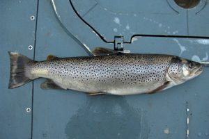 Large Trout Stocked in Clinton and Huron Rivers