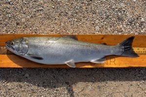 Platte River to receive nearly 800,000 coho salmon stocked this spring