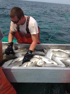 Commercial angler sorting lake whitefish