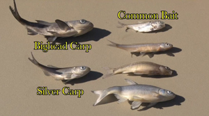 Anglers Encouraged to Identify Asian Carp Minnows in Bait