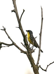 Kirtland's warbler census monitors recovery of Michigan's rare songbird