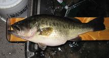 Largemouth bass (close-up)