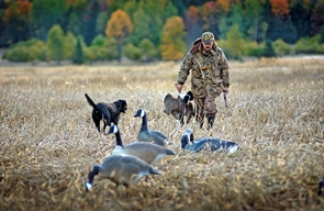 Hunter walking in field with dog and Canada geese