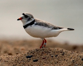 piping plover standing on sand with water in background