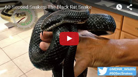 Michigan's Largest Snake - The Black Rat Snake Identification Video