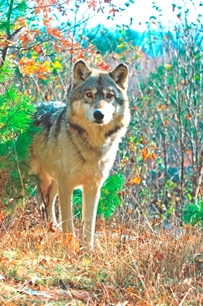 Gray wolf confirmed through genetic testing to be present in the northern Lower Peninsula