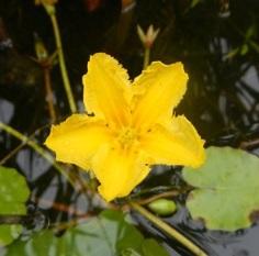 Yellow floating heart, an aquatic invasive species