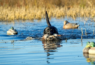 dog swimming with a duck in his mouth