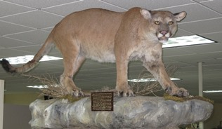 poached cougar mount - DNR Newberry office