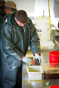 fisheries worker remove eggs from coho salmon