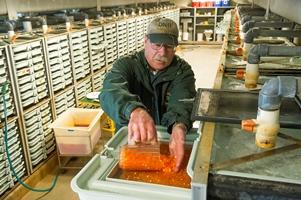 fisheries worker transferring fertilized salmon eggs