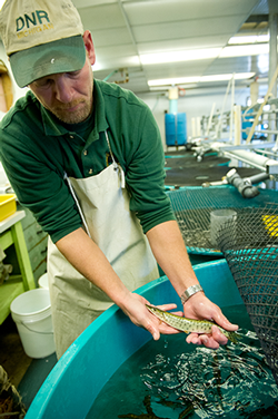 State rears and stocks muskellunge to create fishing opportunities throughout Michigan