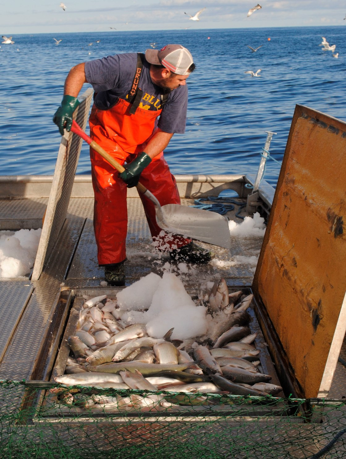Crewman Tom Burleson shovels ice into a bin full of whitefish.