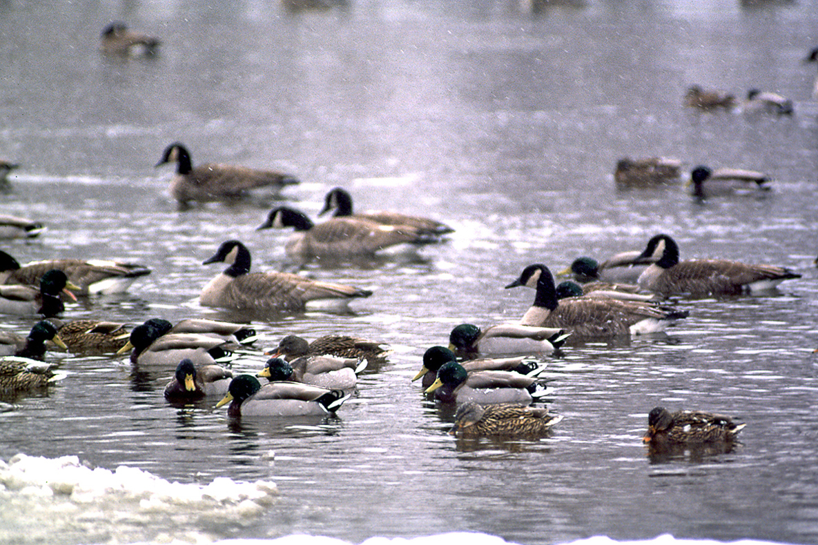 Several mallards and Canada geese are shown in a stretch of open water.