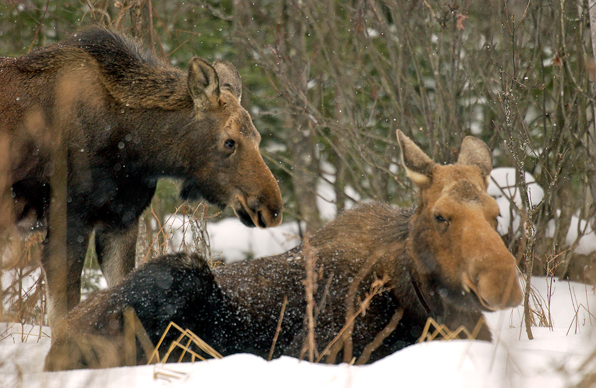 A moose cow with calf are shown photographed in Marquette County.