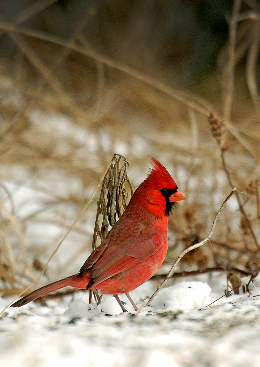 A bright red male cardinal sticks out clearly from the snow in Eaton County.