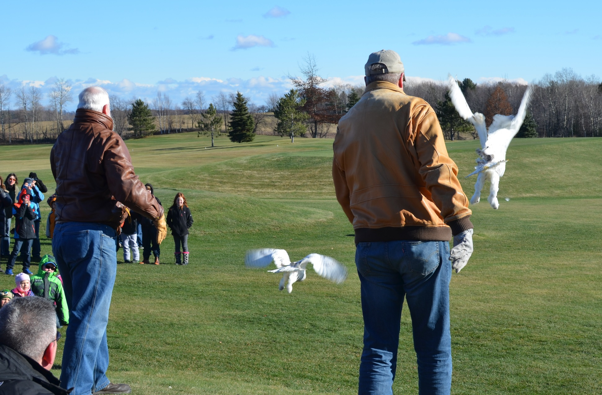 Two snowy owls fly across a green golf course after just being released in Marquette County.