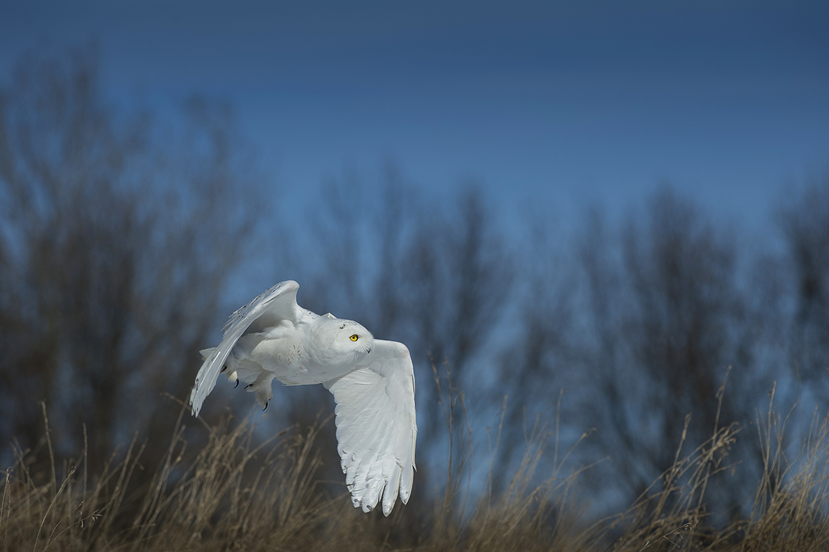 A snowy owl, with a radio-telemetry backpack, flies against a blue sky and bare trees.