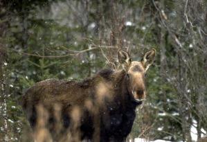 Michigan DNR seeks public's help monitoring moose