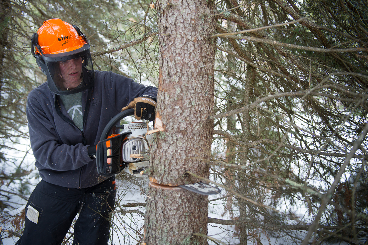 In a snowy woodland, Michigan Department of Natural Resources wildlife volunteer coordinator Sarah Topp cuts a tree to make a hinge cut.