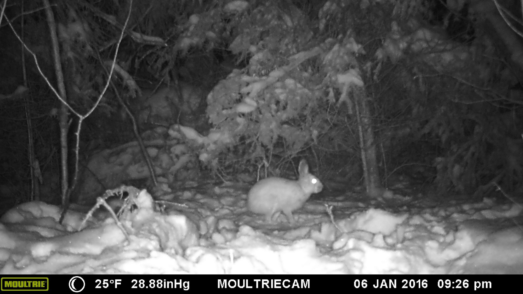 A black-and-white trail camera image shows a snowshoe hare at night.