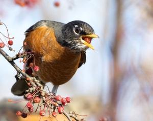 The American robin: February's Migratory Bird Treaty Centennial featured bird