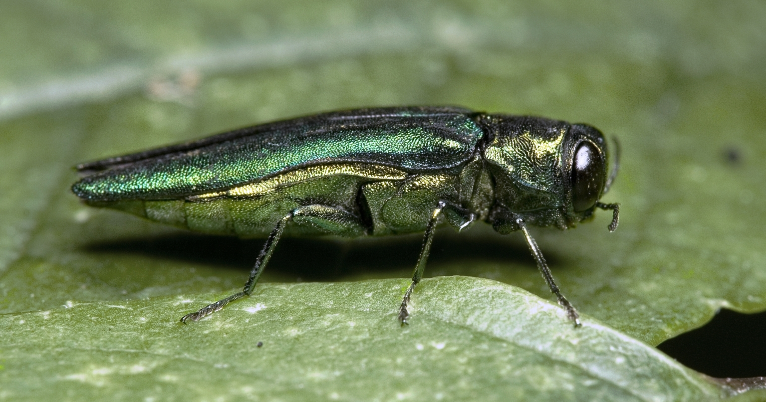 U.P. Focus: Panel discussion on U.P. emerald ash borer quarantine extension airs this weekend