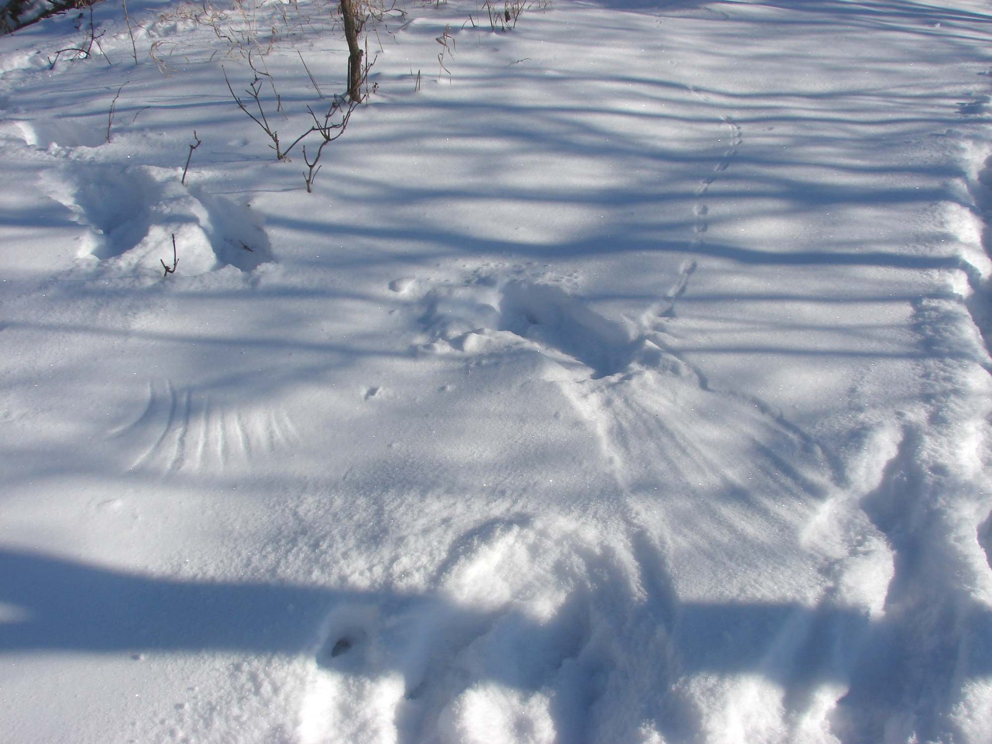 Imprints from bird feathers are seen in the snow where animal tracks end. Photo credit: C.A. Bump.