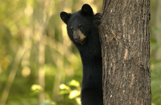 Michigan black bear, with radio collars, are tracked by students interested in outdoor education.
