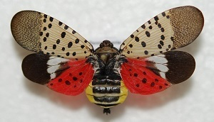 Spotted lanternfly, a leaf-hopper native to China and India, has been added to Michigan's invasive species watch list