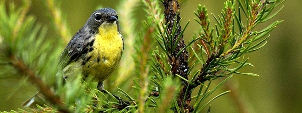 The Kirtland's warbler is a conservation success story, as it may be removed from the Endangered Species list.