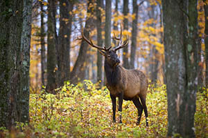 Elk are one wildlife species that benefits from forestry prescriptions.