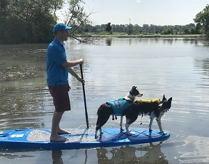 Border collies (on a paddle board) from Detroit-based Goodbye Geese help to scare geese from the water and land at Belle Isle.