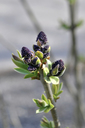 Spring lilac buds