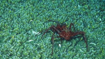 A crab picks its way along a vast bed of mussels living on methane seeping from the ocean floor