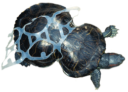 Peanut the turtle, who has a shell shaped like a peanut as a result of getting stuck in a six-pack ring