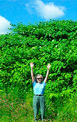 Sue Burks, DNR Forestry Terrestrial Invasive Species Coordinator, standing in front of a Japanese knotweed infestation.