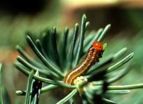 Mature larvae of YHSS. DNR photo